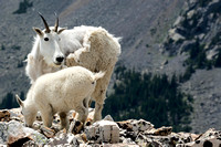 Mountain Goats - Quandary Peak 5 Aug 2017