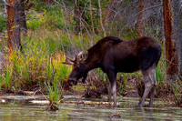 Colorado Bull Moose Sep 2010